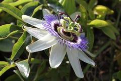 passiflora Στοκ φωτογραφίες με δικαίωμα ελεύθερης χρήσης