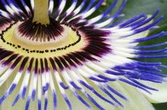 Passiflora Stock Image