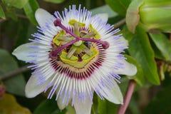 Passiflora białego kwiatu makro- zbliżenie Zdjęcie Royalty Free