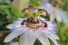 Passiflora białego kwiatu makro- zbliżenie Zdjęcia Royalty Free