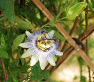 Passiflora Bluecrown Royalty Free Stock Photo