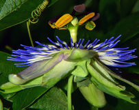 Passiflora bonito Imagens de Stock