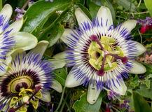 Passiflora Caerulea Fotografie Stock Libere da Diritti