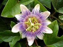The Passiflora caerulea. Tropical flower named Passiflora caerulea stock images