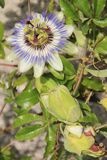 Passiflora Caerulea Immagine Stock Libera da Diritti