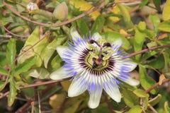 Passiflora Caerulea Fotografie Stock