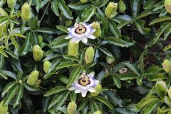 Passiflora caerulea, the blue passionflower, bluecrown passionflower or common passion flower, blooming in garden. Close up of Passiflora caerulea, the blue stock image