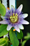 Passiflora caerulea Royalty Free Stock Photo