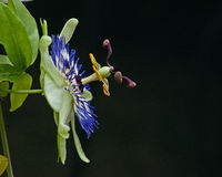 Passiflora caerulea close up Royalty Free Stock Photo