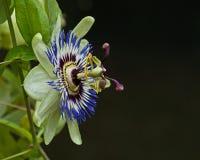 Passiflora caerulea Stock Image