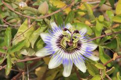 Passiflora caerulea Stock Photos