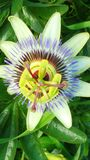 Passiflora Royalty Free Stock Photography