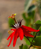 Passiflora coccinea. Close Red Passion Flower: Passiflora coccinea bloom with beautiful background blur stock image