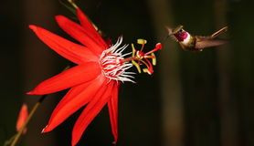 Passiflora coccinea with hummingbird. Red passiflora coccinea with hummingbird (Costa Rica Stock Image