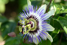 Passiflora coerulea Royalty Free Stock Photo