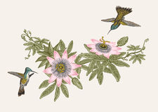 Passiflora and colibri. Vintage botanical illustration. Royalty Free Stock Photos