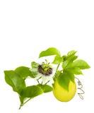 Passiflora commestibile sulla vite Fotografie Stock Libere da Diritti