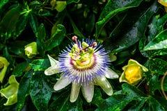 Passiflora del fiore Immagini Stock Libere da Diritti