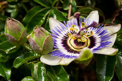 Passiflora in different stages Stock Image