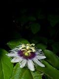 Passiflora edulis Stock Images