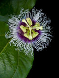 Passiflora edulis. Flower of Passiflora edulis blooming with foliage stock images