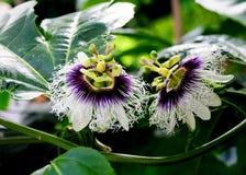 Passiflora edulis. Two passiflora edulis is blossoming stock photo