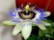 Passiflora edulis Obrazy Royalty Free