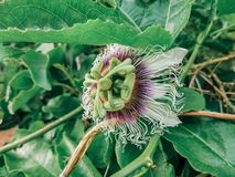 Passiflora edulis blooming purple flower. Vine tropical and subtropical sweet seedy passion fruit. Fresh exotic blossom. Botanical plant aroma essential oil stock images