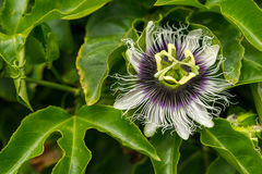 Passiflora edulis Stock Photo