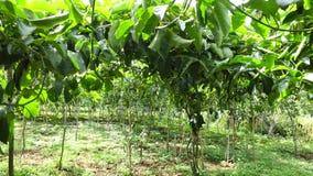 Passiflora edulis, Da Lat miasta, zwiania Dong prowincja, Wietnam zdjęcie wideo