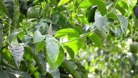 Passiflora edulis, Da Lat miasta, zwiania Dong prowincja, Wietnam zbiory
