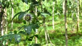 Passiflora edulis, Da Lat miasta, zwiania Dong prowincja, Wietnam zbiory wideo