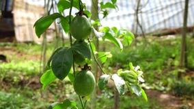 Passiflora edulis, Don Duong okręg, Da Lat miasta, zwiania Dong prowincja, Wietnam zbiory wideo