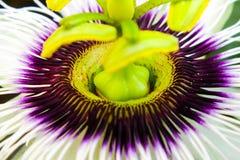 Passiflora edulis. Flower royalty free stock images