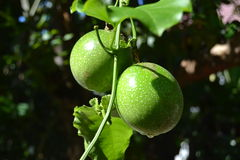 Passiflora edulis. The passion fruit is round to oval, either yellow or dark purple at maturity, with a soft to firm, juicy interior filled with numerous seeds Royalty Free Stock Photo