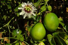 Passiflora edulis - passion fruits. A macro of passion fruit -Passiflora edulis Stock Image