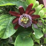 Passiflora edulis, Passionfruit, Pasyjna owoc zdjęcia stock