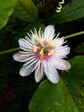 Passiflora fétido Fotografia de Stock