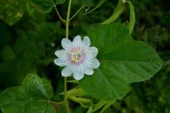 Passiflora fétido Imagens de Stock