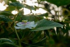 Passiflora fetida fotografia stock