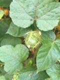 Passiflora fetida, passiflora di Scarletfruit, germoglio di fiore immagine stock