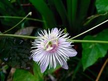 Passiflora fetida, passiflora di Scarletfruit, passiflora di fetore Fotografia Stock Libera da Diritti