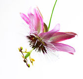 Passiflora Flower. Isolated over White Background royalty free stock image