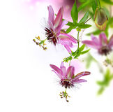 Passiflora Flower. Border Design over White Background stock photography