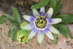 Passiflora flower Royalty Free Stock Images