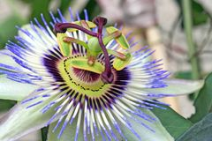 Passiflora flower. Close up of passiflora flower royalty free stock photography
