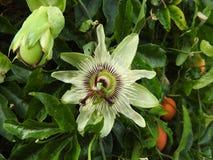Passiflora flower Stock Photo