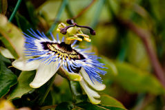 Passiflora flower Stock Photo