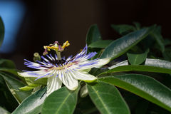 Passiflora flower Stock Photography