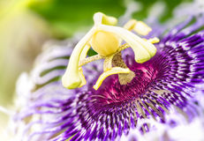 Passiflora flower. Detail of the blooming purple passiflora flower royalty free stock photos